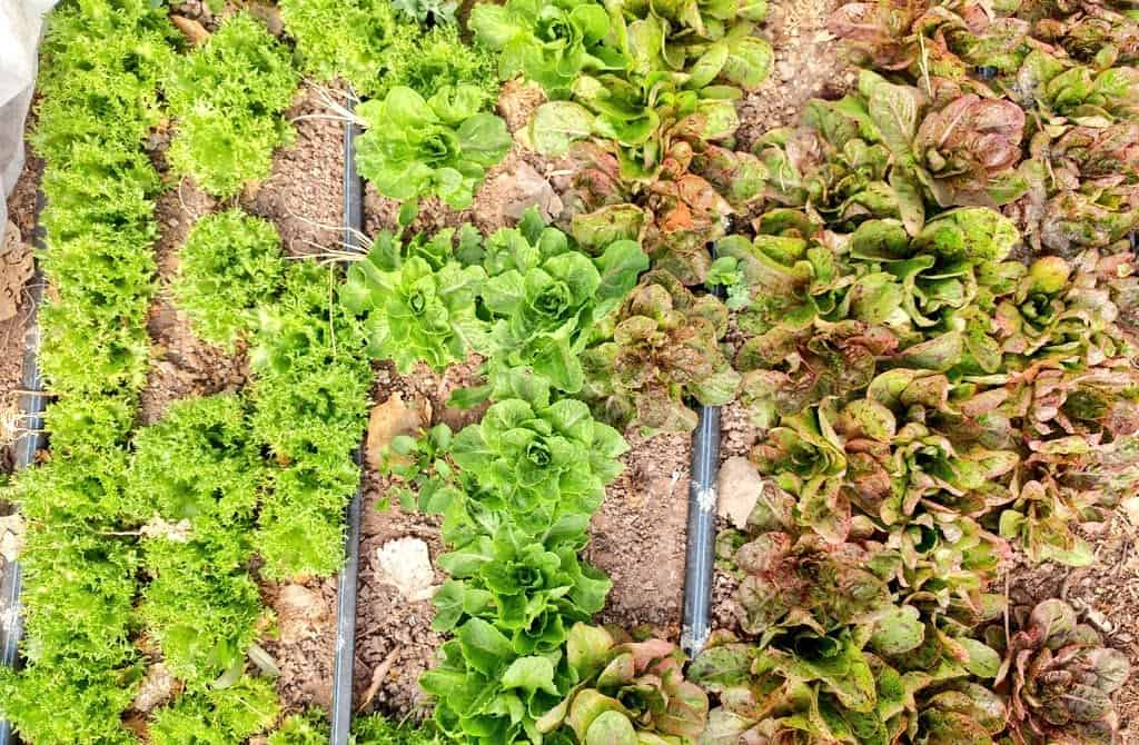 lettuce growing in rows at ojo farm in ojo caliente new mexico